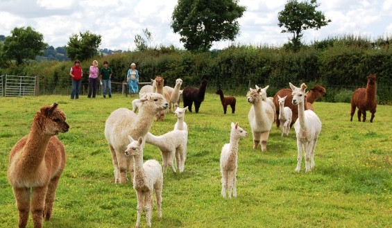 alpaca training