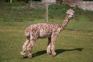 appaloosa alpaca for sale