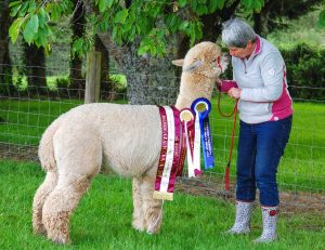 alpacas for sale, walks with alpacas